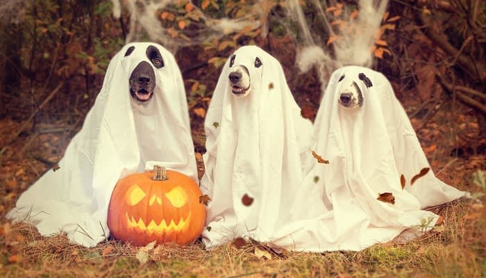 Three dogs dressed in white sheets cut out to look like Halloween ghost costumes next to carved pumpkin and cobwebs on grass