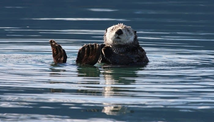 Otter in water clapping paws together
