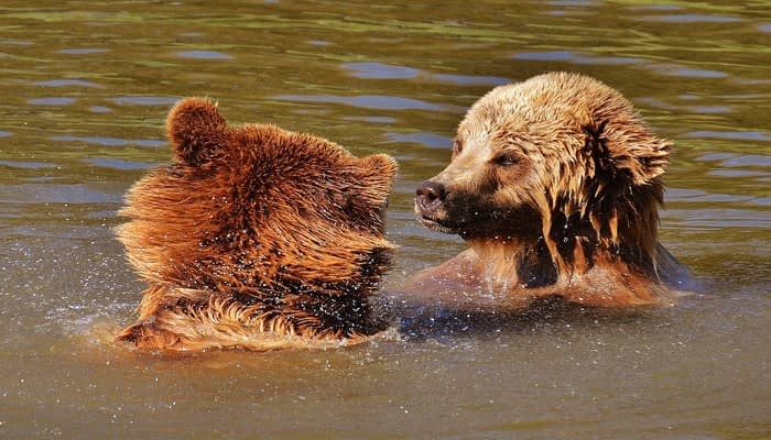 Two brown bears swimming