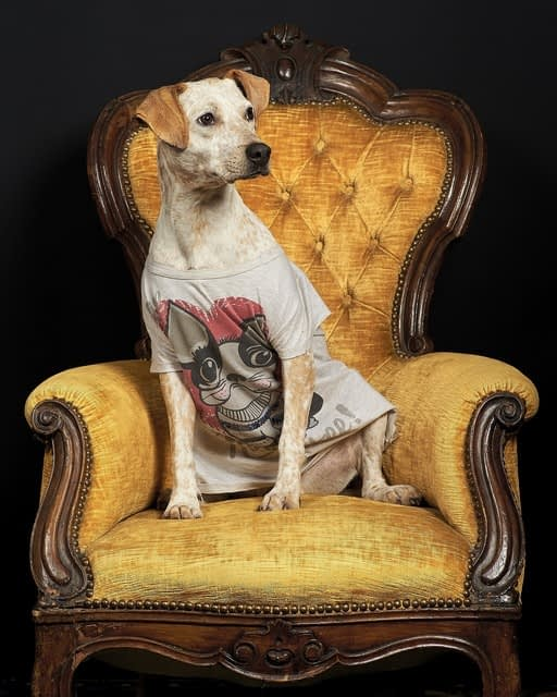 Dog wearing a tshirt sitting in a gold armchair