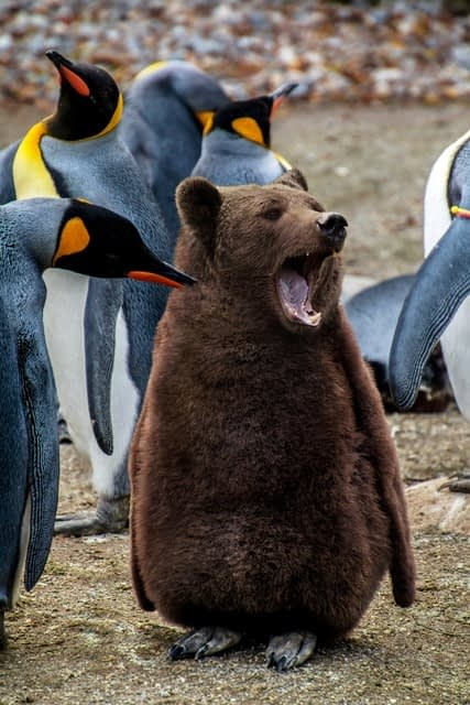 Penguin that looks like a bear with flippers and penguin feet surrounded by king penguins