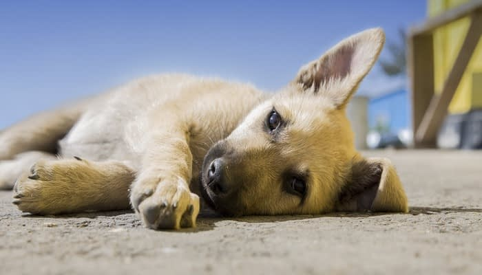 Golden short haired puppy lying on the ground in the sun