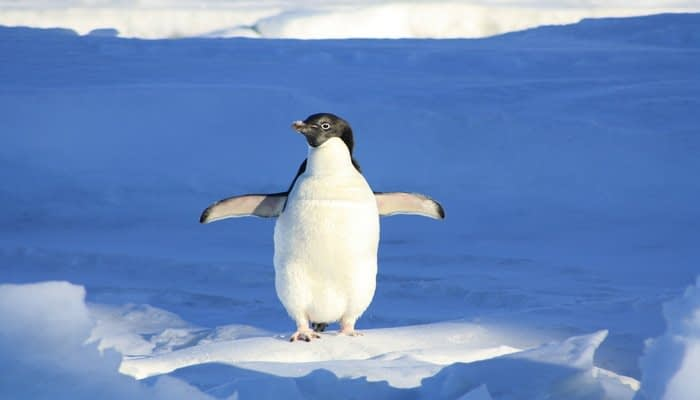 Penguin with flippers out standing on the snow