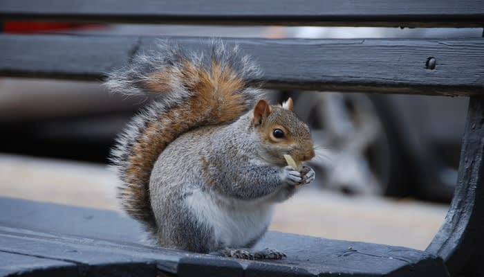 Squirrel sat on a bench eating pasta