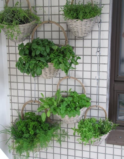 Herbs growing in baskets hung from wire mesh on a wall