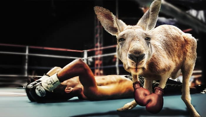 Kangaroo wearing boxing gloves in a boxing ring with male boxer knocked out on the floor