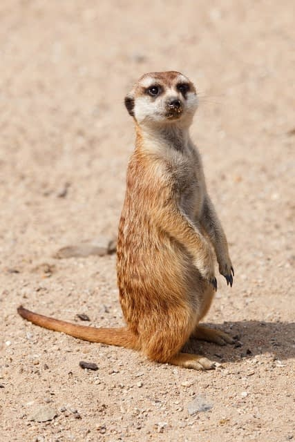 Meerkat standing on hind legs in sand with crumbs on their nose
